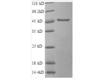 Recombinant human Secretory carrier-associated membrane protein 3