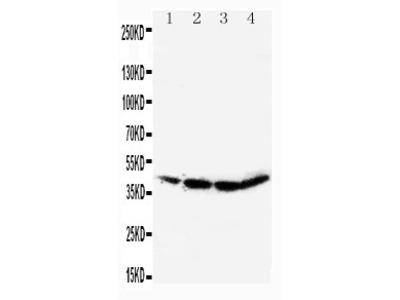 Anti-CEBP Alpha antibody
