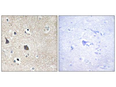 TRI18 Antibody