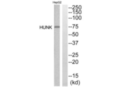 HUNK Antibody