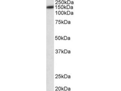 Goat anti-ATP2B1 (aa312-327) Antibody