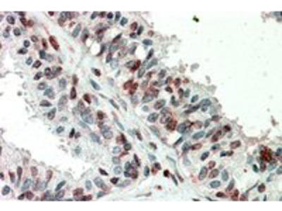 Goat anti-ZIC3 (aa178-189) Antibody