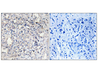 Heparin Cofactor II Antibody