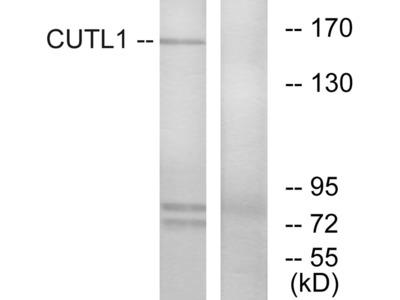 CUTL1 Antibody