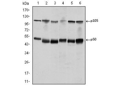 NFKB1 Antibody