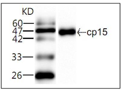 CP CP15 Antibody