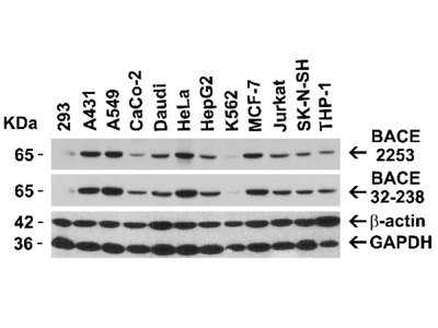 BACE Antibody