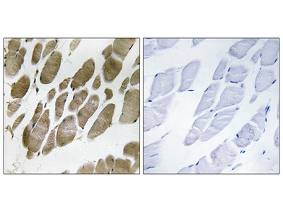 NMU Antibody