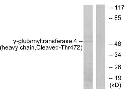 Gamma-glutamyltransferase 4 (heavy chain, Cleaved-Thr472) Antibody