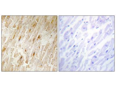 BCA3 Antibody