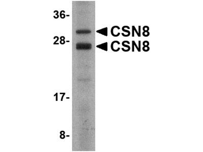 CSN8 Antibody
