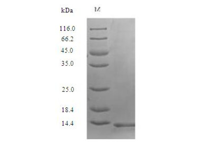 Recombinant Human Secreted Ly-6/uPAR-related protein 1 (SLURP1)