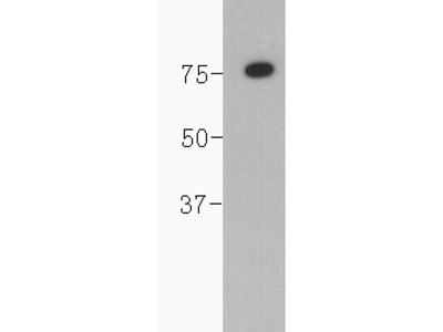 Complement C4(beta chain)Antibody