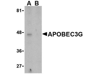 APOBEC3G Antibody