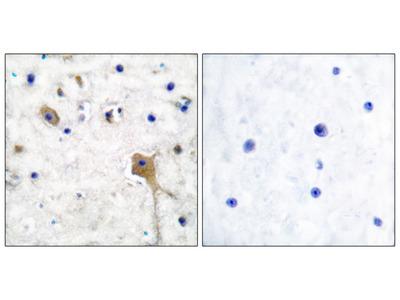 SH-PTP2 Antibody