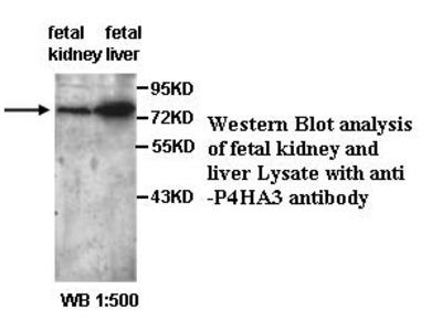 P4HA3 Antibody