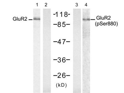 Glutamate receptor 2 (Precursor)(Ab-880) antibody