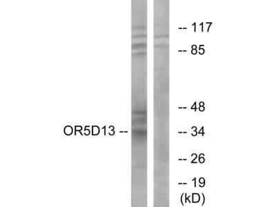 OR5D13 Antibody
