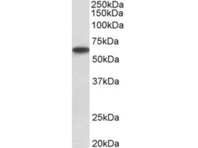 Goat anti-P2rx4 (mouse) Antibody
