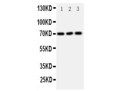 Anti-Serotonin transporter antibody