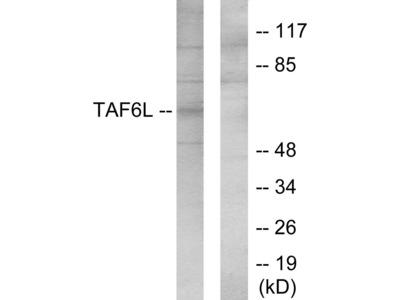 TAF6L Antibody