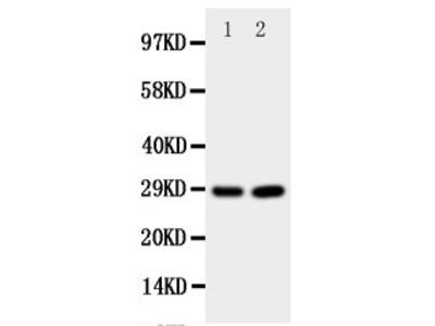 Anti-Prion protein PrP antibody