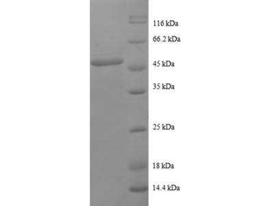 Recombinant human Proteasome subunit beta type-2
