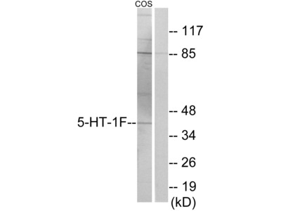 5-HT-1F Antibody