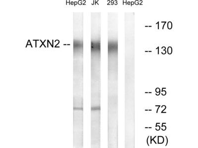 ATXN2 Antibody