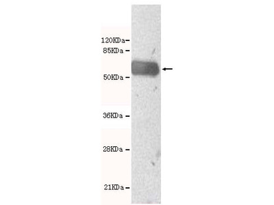 MYST4 Antibody