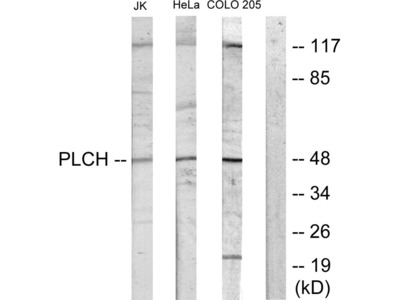 PLCH Antibody