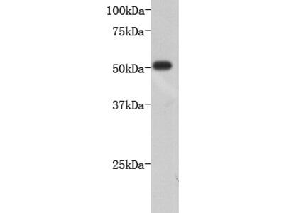 Neuron-specific class III beta-tubulin Antibody