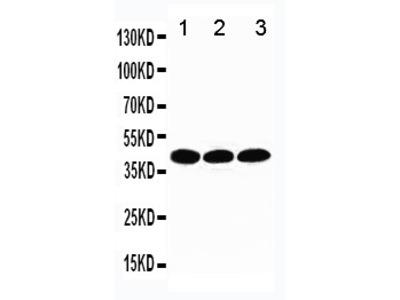Anti-TATA binding protein TBP antibody