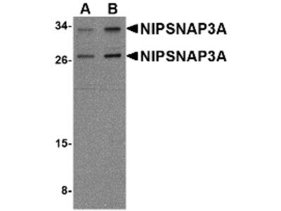 NIPSNAP3A Antibody