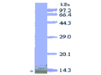 GRO alpha (CXCL1) Antibody