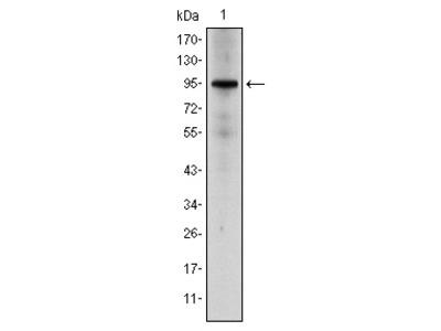 NR3C1 Antibody