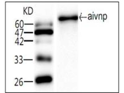 AIV NP Antibody