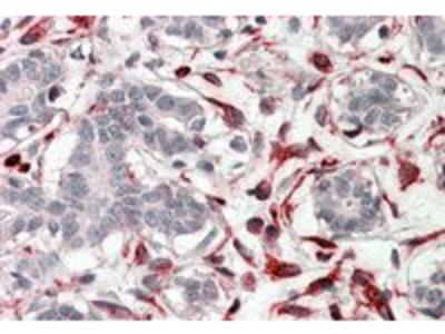 Goat anti-CXXC4 Antibody