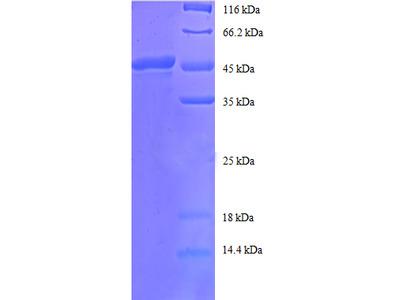 Recombinant human ADP-ribosylation factor 4 protein
