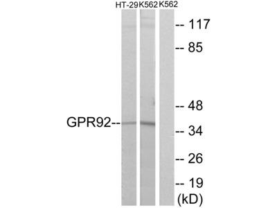 GPR92 Antibody