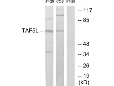 TAF5L Antibody