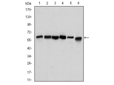 BECN1 Antibody