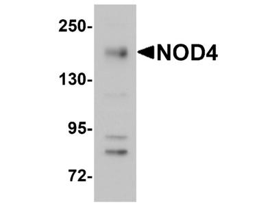 NOD4 Antibody