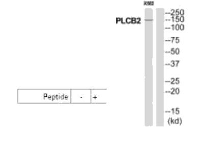 PLCB2 Antibody