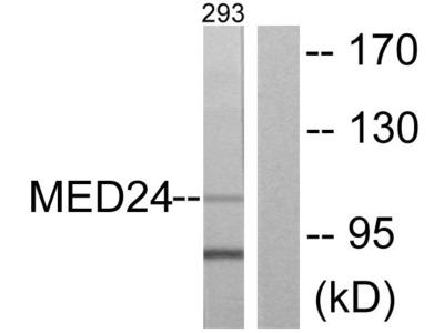 MED24 Antibody