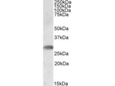 Goat anti-TREML1 Antibody