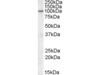 Goat anti-CENTG1 / PIKE Antibody