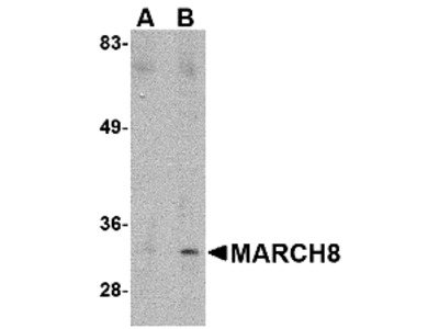 MARCH8 Antibody