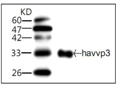 HAV VP3 Antibody