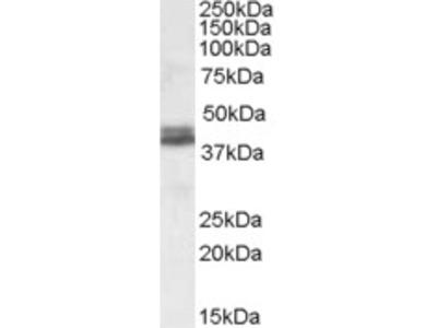 Goat anti-NDEL1 Antibody